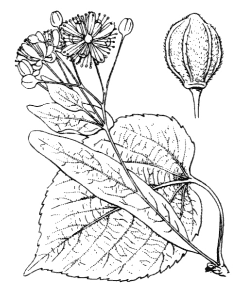 Tilia platyphyllos Scop. [1771] - illustration de coste