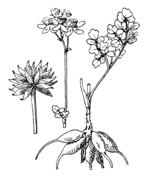Thalictrum tuberosum L. - illustration de coste