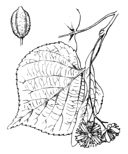 Tilia x europaea L. - illustration de coste