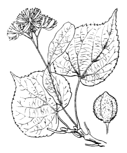 Tilia cordata Mill. [1768] - illustration de coste
