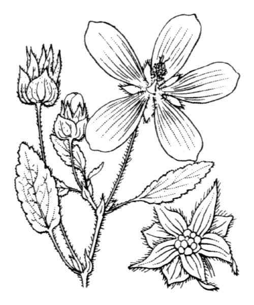 Malope malacoides L. - illustration de coste