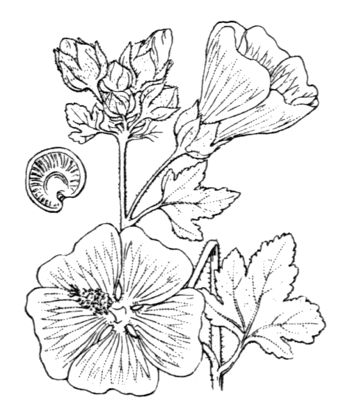 Malva alcea L. [1753] - illustration de coste