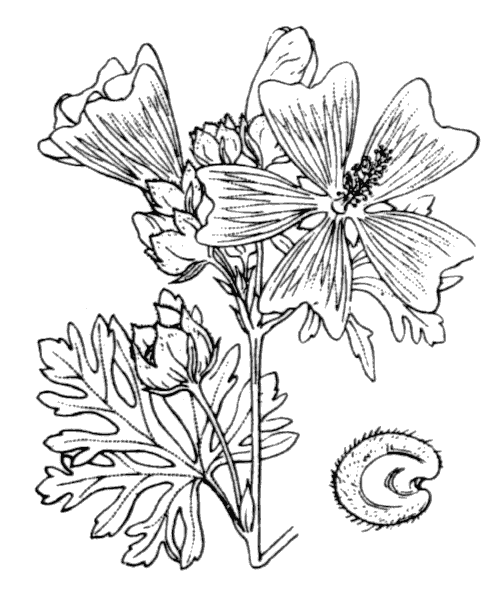 Malva moschata L. - illustration de coste