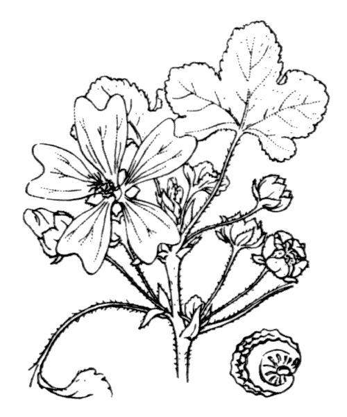 Malva sylvestris L. - illustration de coste