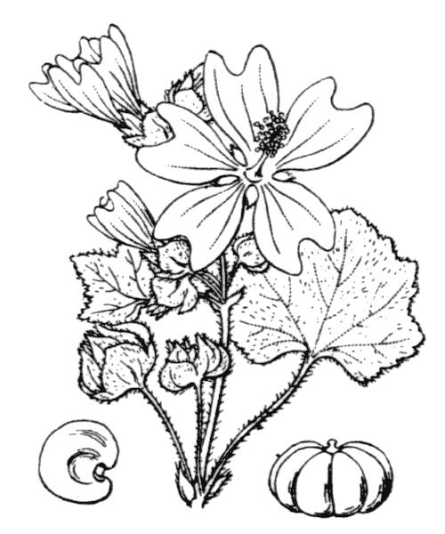 Malva multiflora (Cav.) Soldano, Banfi & Galasso - illustration de coste