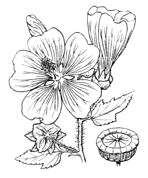 Malva trimestris (L.) Salisb. - illustration de coste