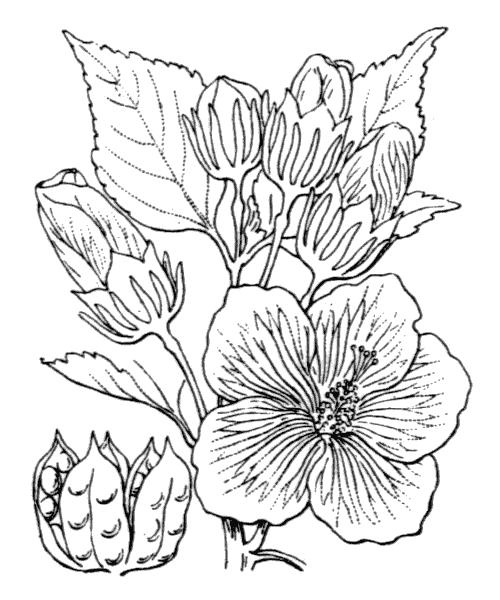 Hibiscus palustris L. - illustration de coste