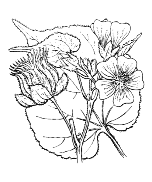 Abutilon theophrasti Medik. - illustration de coste