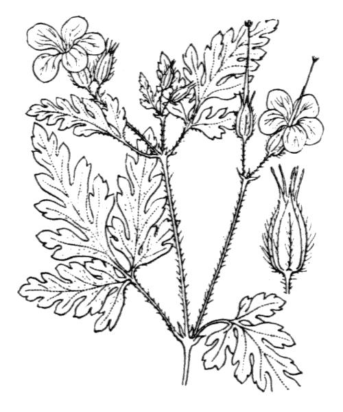 Geranium robertianum L. [1753] - illustration de coste