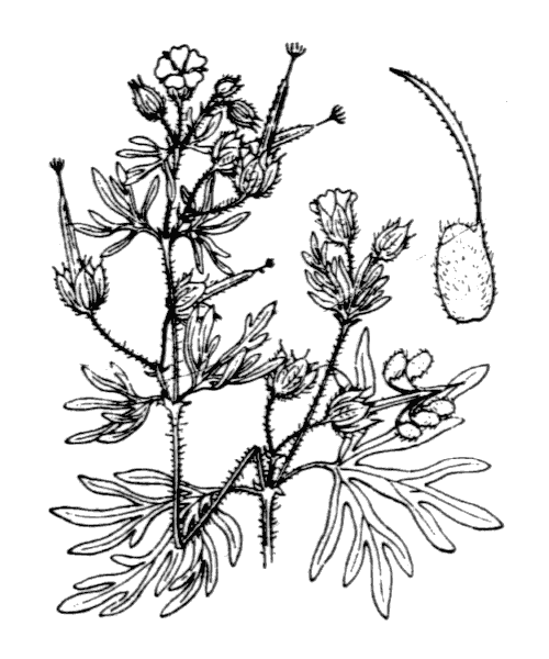 Geranium dissectum L. - illustration de coste