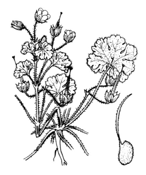 Geranium rotundifolium L. - illustration de coste