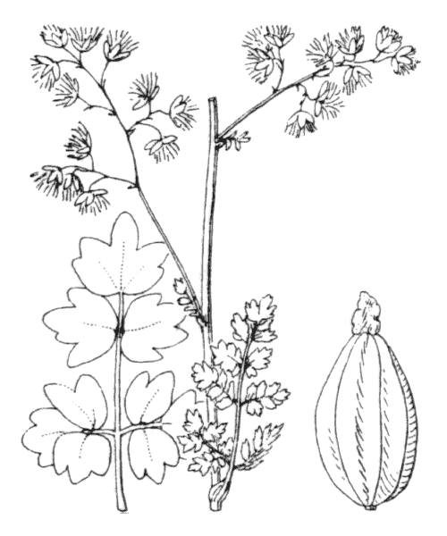 Thalictrum minus L. - illustration de coste