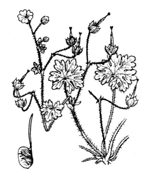 Geranium molle L. - illustration de coste