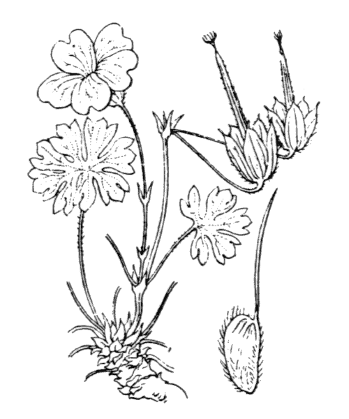 Geranium cinereum Cav. - illustration de coste