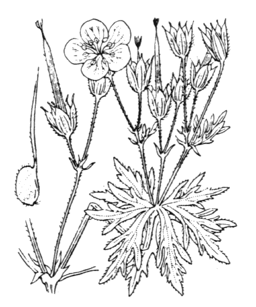 Geranium rivulare Vill. [1779] - illustration de coste
