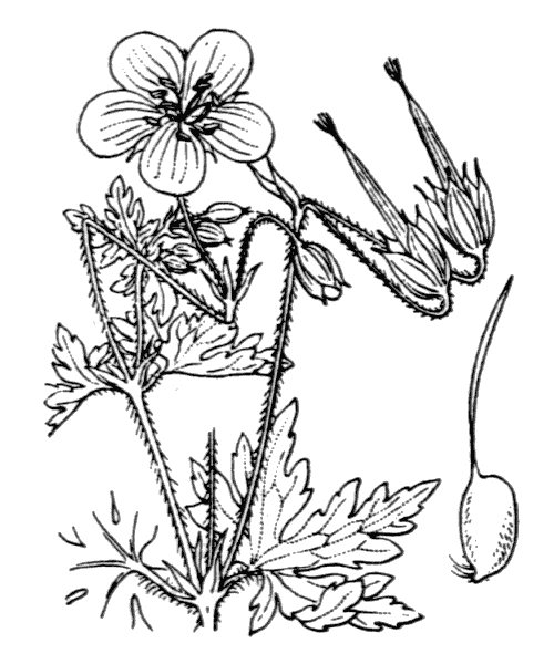 Geranium palustre L. - illustration de coste