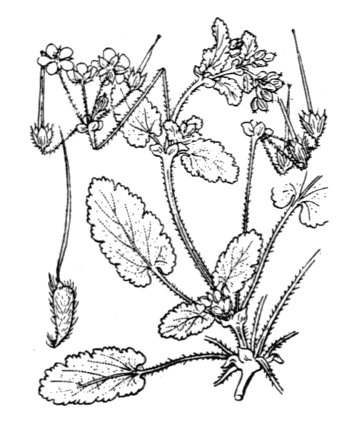 Erodium malacoides (L.) L'Hér. - illustration de coste