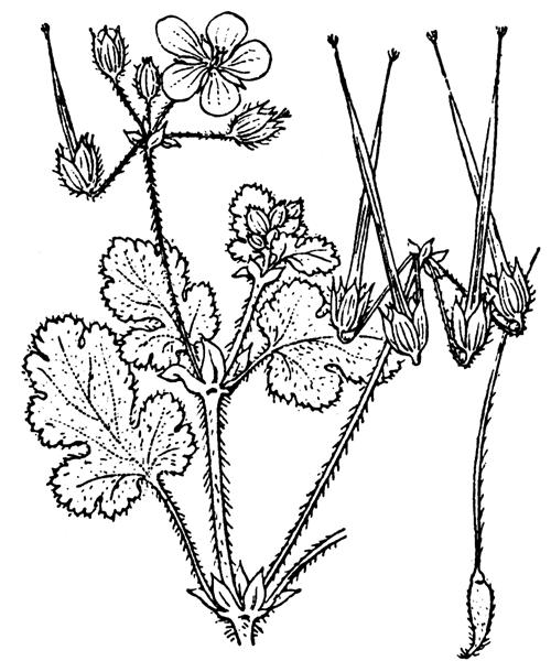 Erodium chium (L.) Willd. - illustration de coste