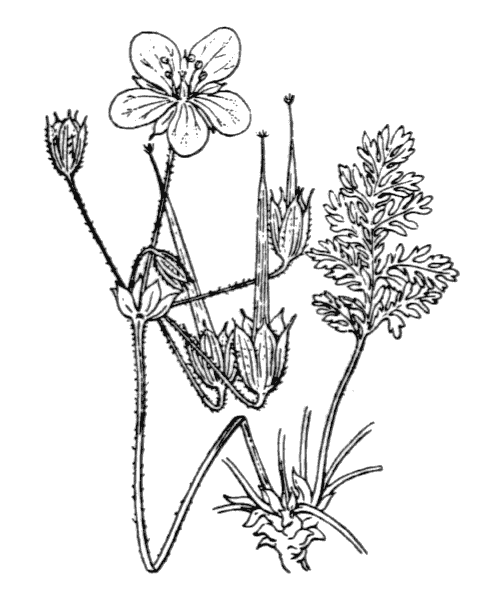Erodium glandulosum (Cav.) Willd. [1800] - illustration de coste