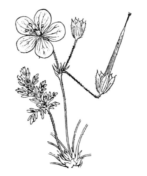 Erodium foetidum (L.) L'Hér. - illustration de coste