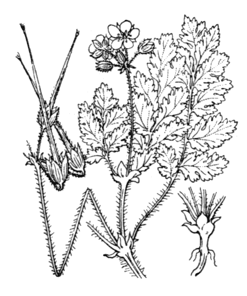 Erodium moschatum (L.) L'Hér. - illustration de coste