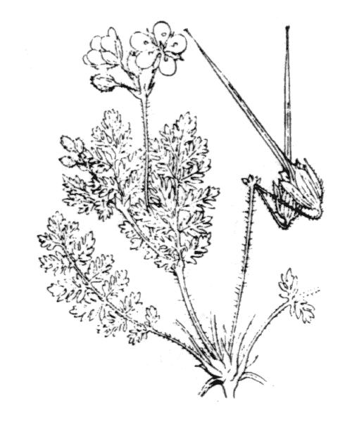 Erodium cicutarium (L.) L'Hér. - illustration de coste