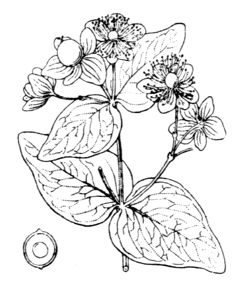 Hypericum androsaemum L. - illustration de coste