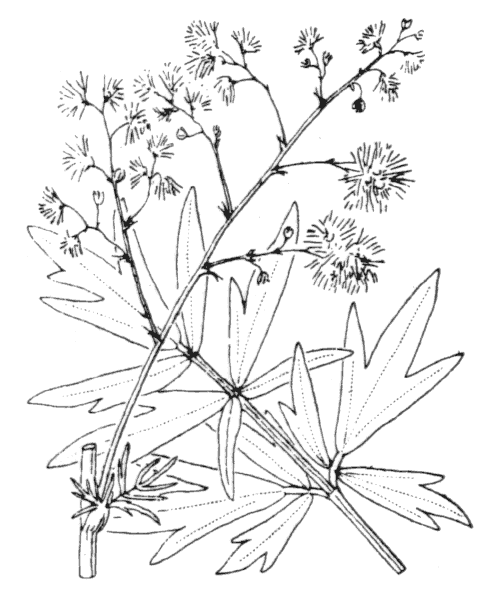 Thalictrum x timeroyii Jord. - illustration de coste