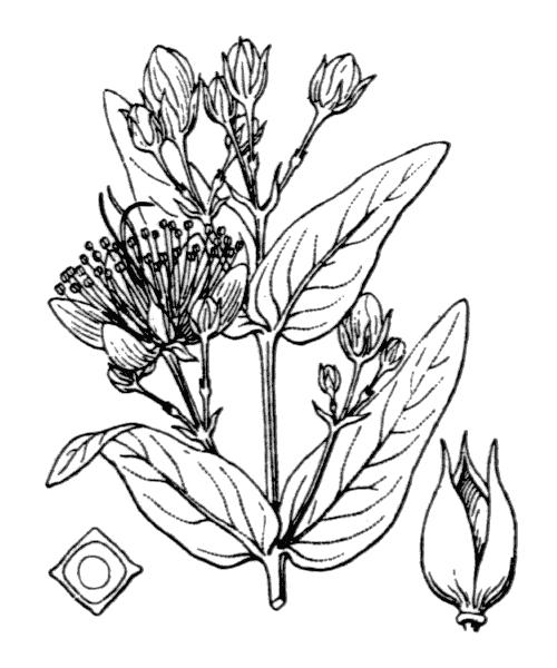 Hypericum hircinum L. subsp. hircinum - illustration de coste