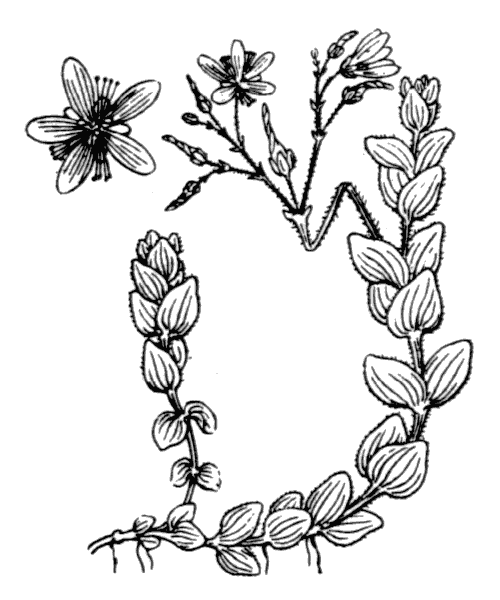 Hypericum elodes L. - illustration de coste