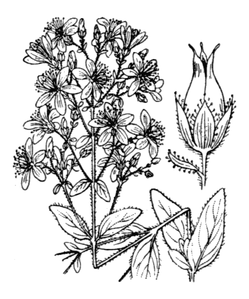 Hypericum hirsutum L. - illustration de coste