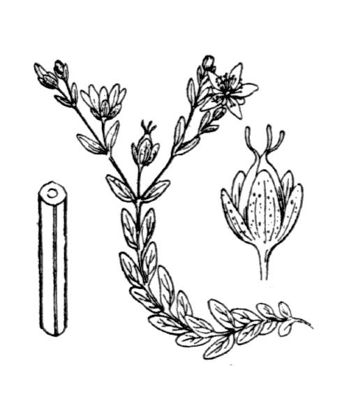 Hypericum humifusum L. - illustration de coste