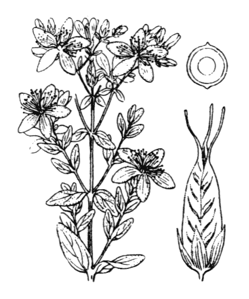 Hypericum perforatum L. - illustration de coste