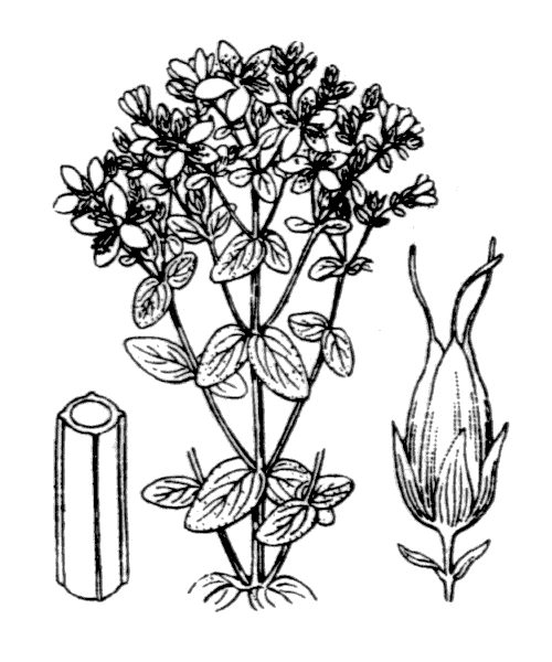 Hypericum tetrapterum Fr. - illustration de coste
