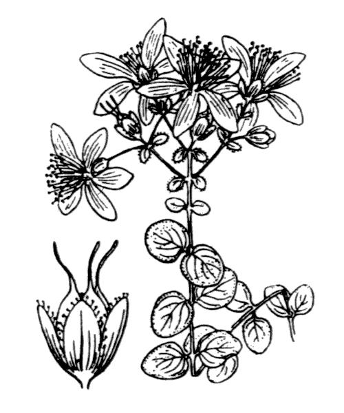 Hypericum nummularium L. - illustration de coste