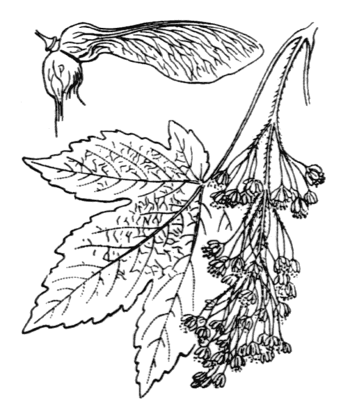 Acer pseudoplatanus L. - illustration de coste