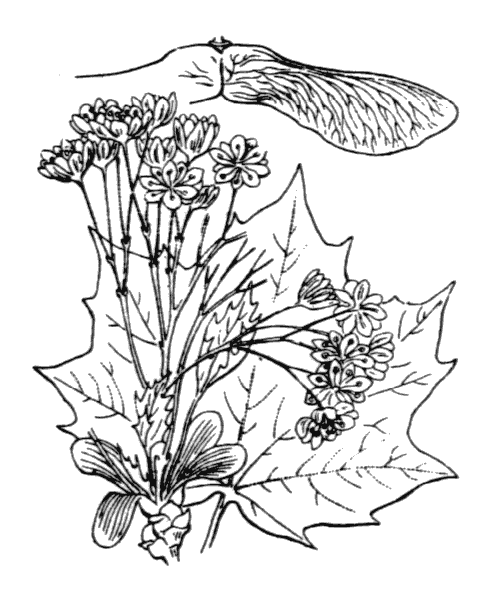 Acer platanoides L. [1753] - illustration de coste