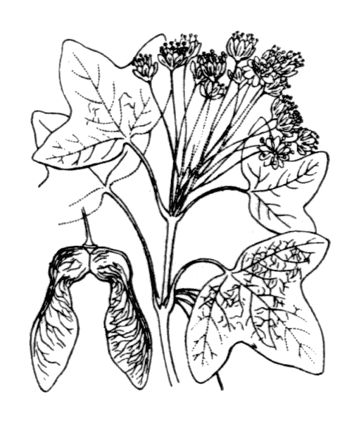 Acer monspessulanum L. - illustration de coste