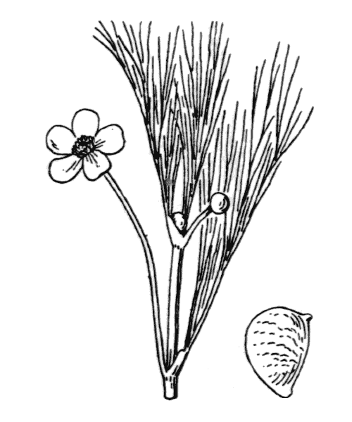 Ranunculus fluitans Lam. [1779] - illustration de coste