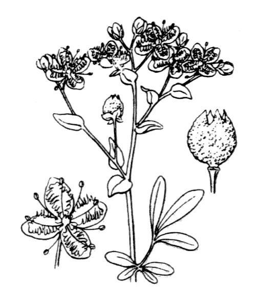 Ruta chalepensis L. - illustration de coste