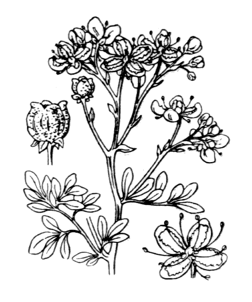 Ruta graveolens L. [1753] - illustration de coste