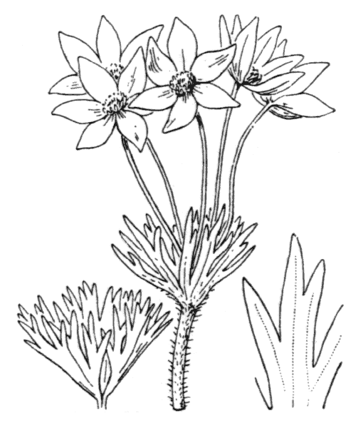 Anemone narcissiflora L. subsp. narcissiflora - illustration de coste