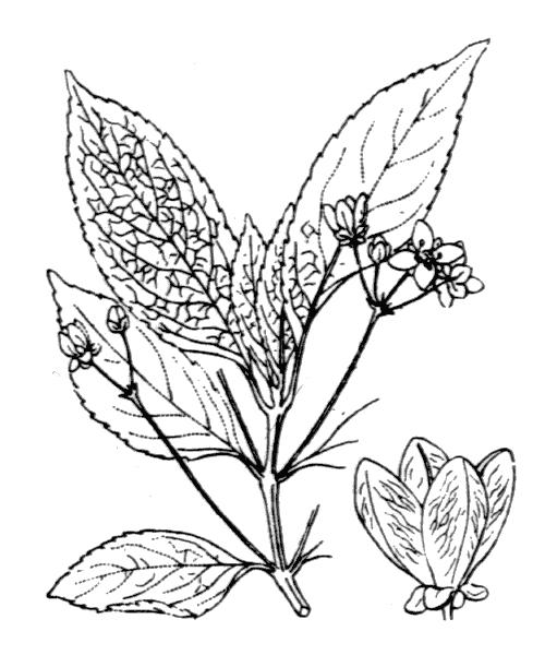 Euonymus europaeus L. - illustration de coste