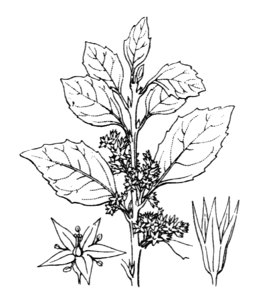 Rhamnus alaternus L. - illustration de coste