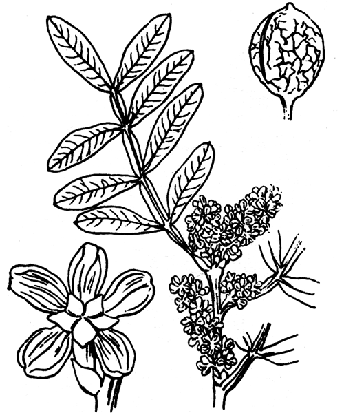 Pistacia lentiscus L. - illustration de coste