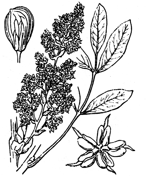 Pistacia terebinthus L. - illustration de coste
