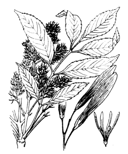 Fraxinus ornus L. - illustration de coste