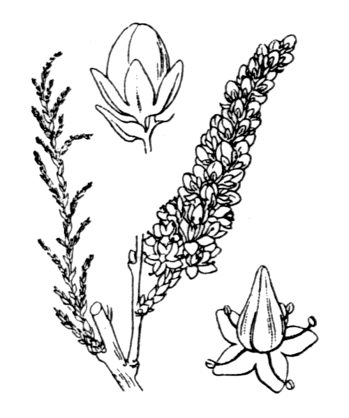 Tamarix africana Poir. - illustration de coste