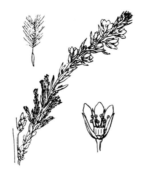 Myricaria germanica (L.) Desv. - illustration de coste