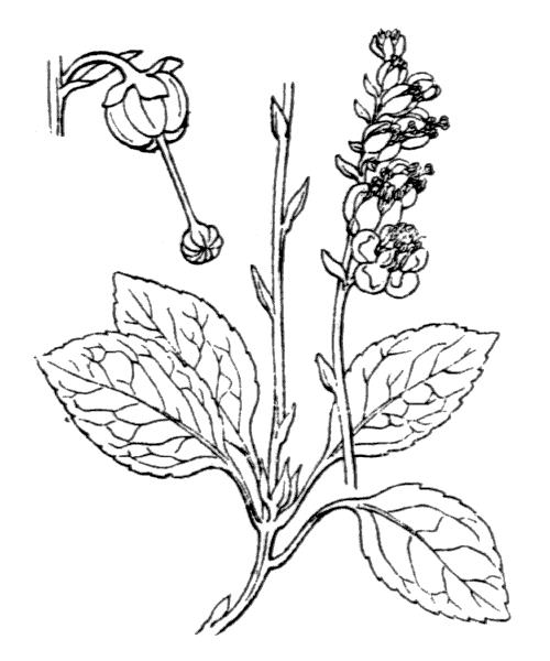 Orthilia secunda (L.) House - illustration de coste